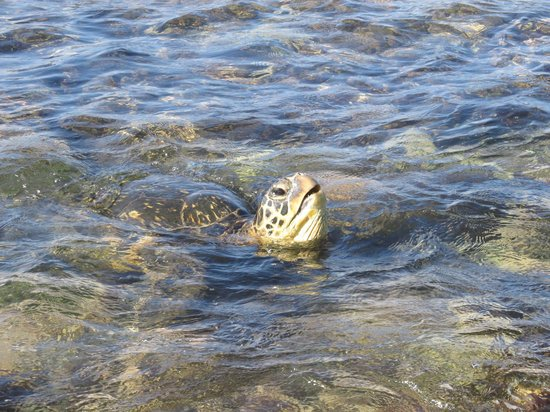 The Napili Bay: A turtle right in the bay.  One of many.