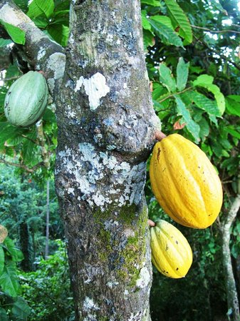 Caribeans Coffee & Chocolate : ripe for the picking