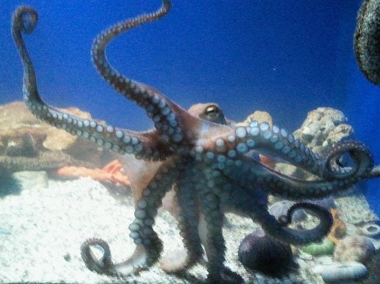 Aquaworld Aquarium & Reptile Rescue Centre: Octopus