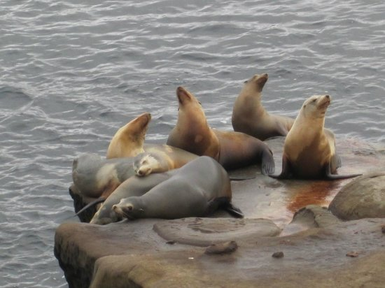 La Jolla Cove : Seals  along the walk
