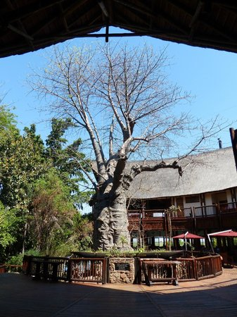 Cresta Mowana Safari Resort and Spa : Baobab tree in courtyard