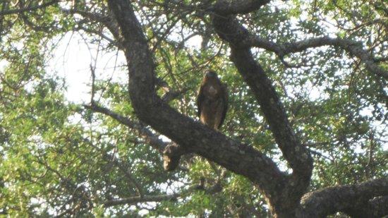 Kapama Southern Camp: Vulture