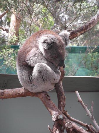 Moonlit Sanctuary Wildlife Conservation Park: koala