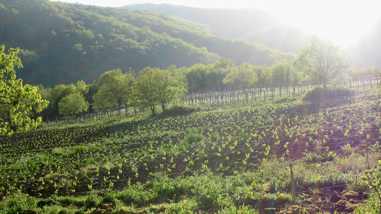 Agriturismo Podere Tegline : The vineyard just planted!