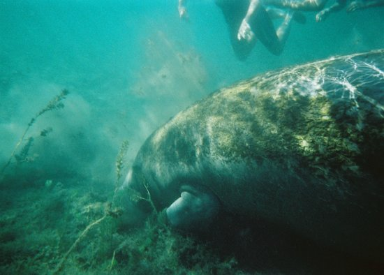 Crystal River Manatee Tour And Dive Groupon