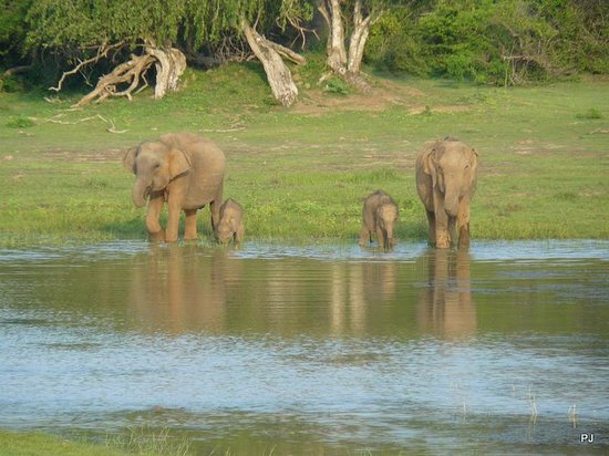 Yala National Park: 84902167 Two elephants with their youngo