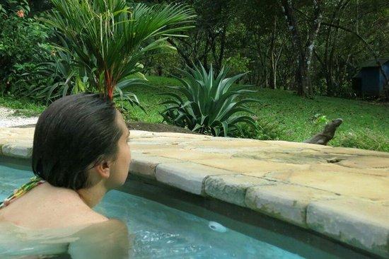 Hotel Casacolores : Im Angesicht des Leguans: Schwimmen im Pool von Casacolores.