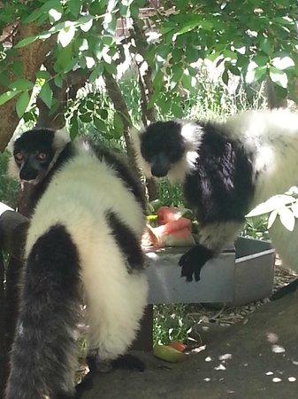 Monkey Town Primate Centre: Black + white ruffed lemurs