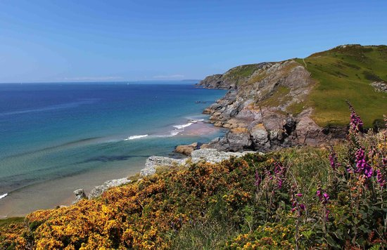 Salcombe to Bolt Head Walk: Gorse on SW Coastal Path from Soar Mill Cove to Bolt Head