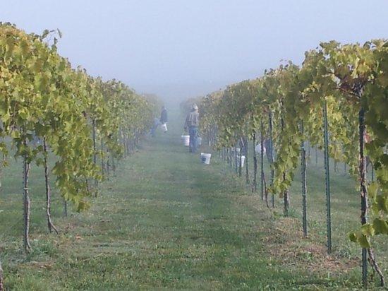 Fence Stile Vineyards & Winery: Harvest Morning