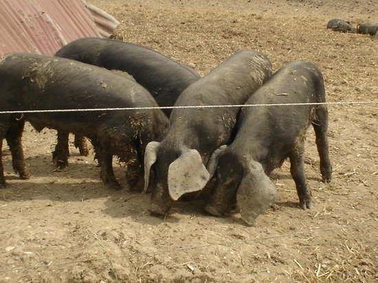 Museum of East Anglian Life: Black pigs