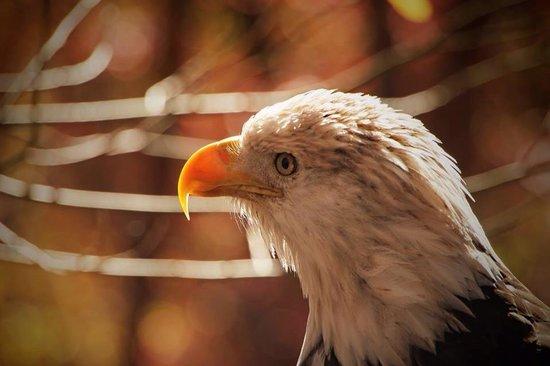 World Bird Sanctuary : American Bald Eagle