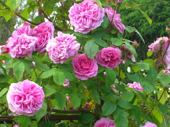 The Salutation Gardens: Some roses in the summer