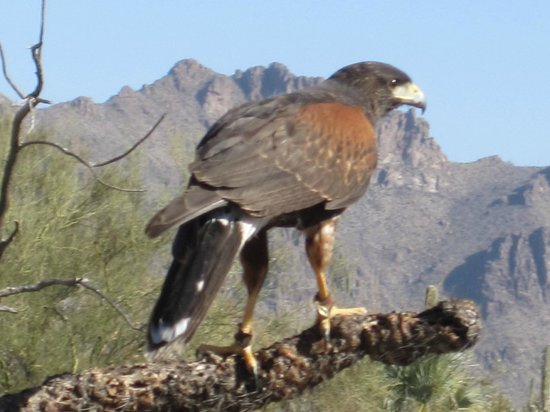 Arizona-Sonora Desert Museum: Harriss' Hawk