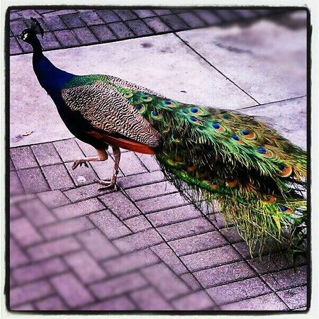 Palm Beach Zoo & Conservation Society: peacock