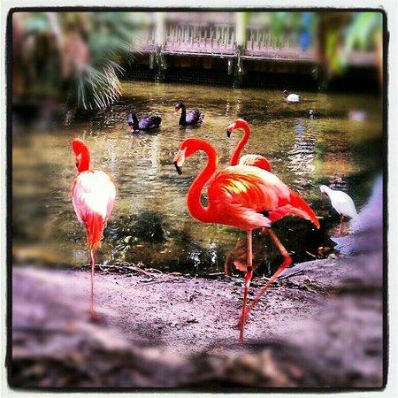 Palm Beach Zoo & Conservation Society: flamingos