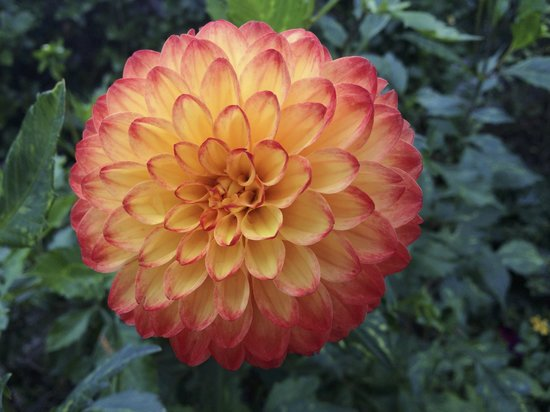 Bridge of Flowers: dahlia