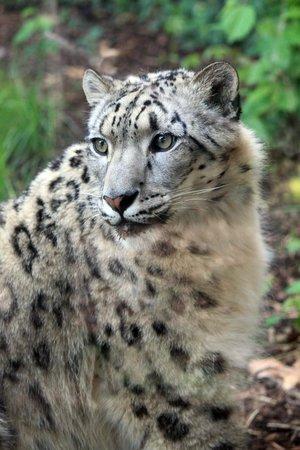 Zoo Boise: Snow leopard watching her kittens