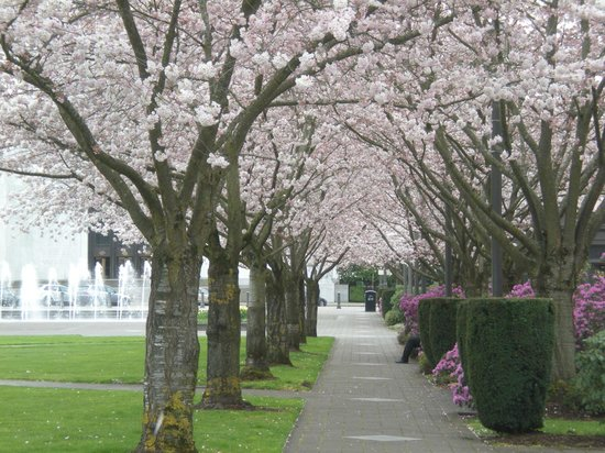Oregon State Capitol: Cherry tree lined walk