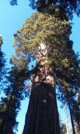 Nelder Grove: Bull Buck Giant Sequoia