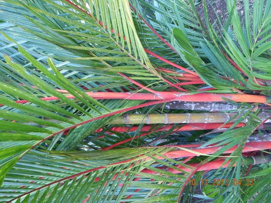 Hotel Villa Creole: Red Palm Tree on the grounds