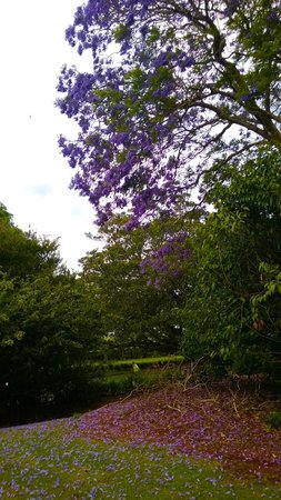 Camelot Cottages: Pretty jacaranda trees in the garden
