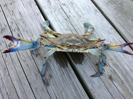 National Aquarium: Beautiful Chesapeake Bay Blue Crab