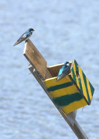 Lyndhurst, Nueva Jersey: Tree Swallows Nesting