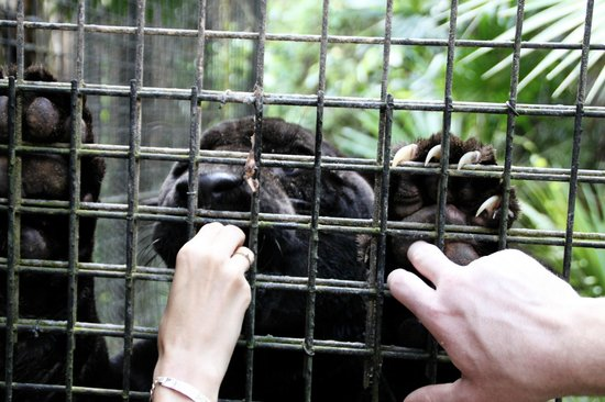 The Belize Zoo: Loved petting Lucky Boy's paw!