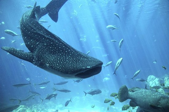 Rebatetours -  Tours : Whaleshark in Cancun