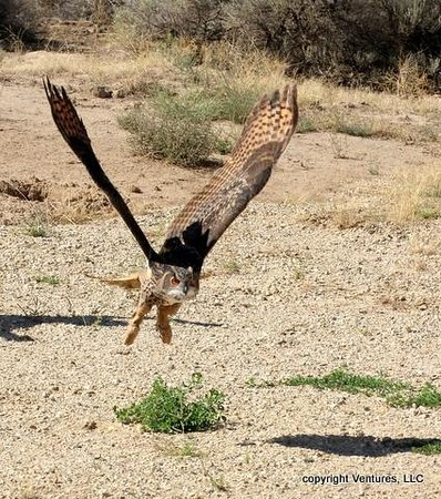 World Center For Birds of Prey: Eurasian Eagle Owl. Photo taken during the Fall Outdoor Flight program