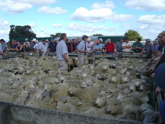 Feilding Saleyards Guided Tour : Stock agents conducting the auction