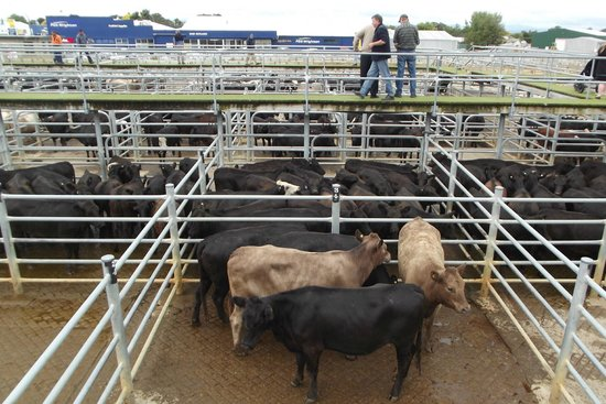 Feilding Saleyards Guided Tour : A few of the cattle