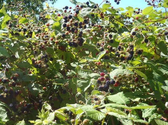 Willingdon Beach Trail: Powell River's famous blackberries on the old golf course