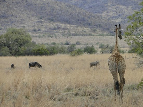 Tshukudu Bush Lodge: Girafa