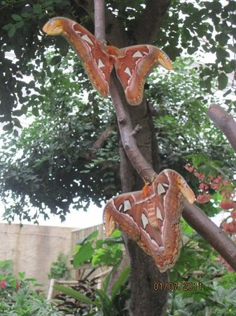 Mariposario de Benalmádena: Atlas, the largest moth in the world