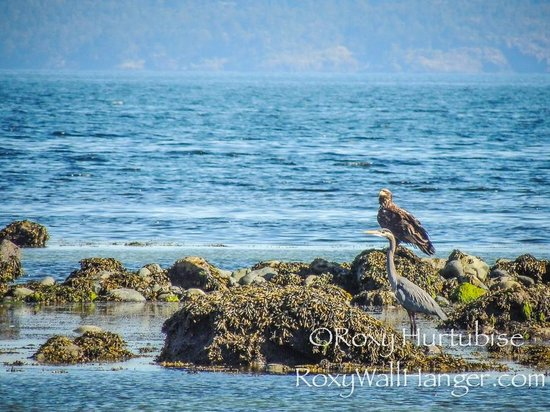 Parksville Community Park and Skate Park : Eagle and Blue Heron Fishing Parksville Beach