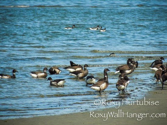 Parksville Community Park and Skate Park : Brant Geese on the beach in Parksville