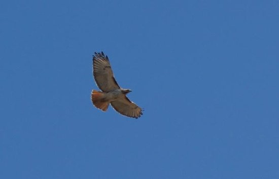 Allens Pond Wildlife Sanctuary : Red tailed hawk