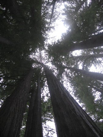 Stout Grove : tall trees