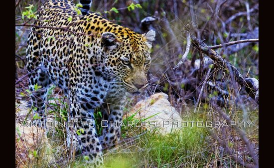 Tanda Tula Safari Camp : Day two Game ride with Scotch our Guide and Patrick our Tracker