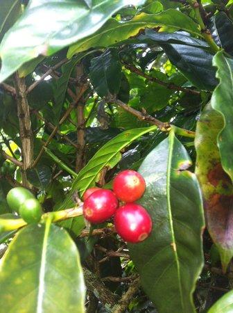 Finca Lerida : кофейные плантации