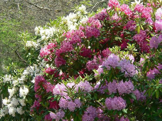 Heritage Museums & Gardens: Rhododendrons
