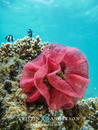 Exmouth, Australia: Nudibranch egg rose