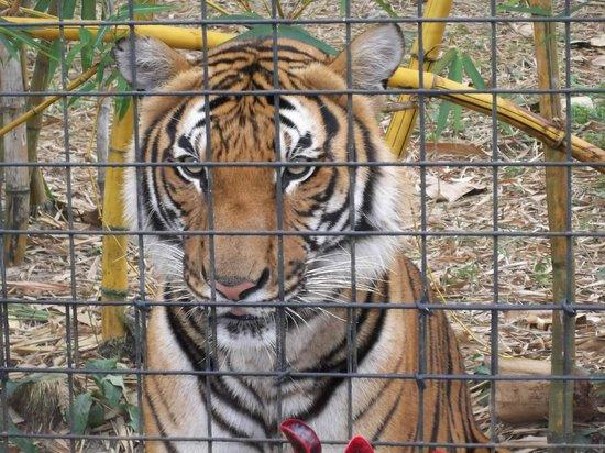 Naples Zoo at Caribbean Gardens: very photogenic tiger