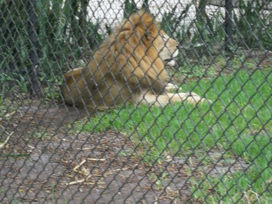 Naples Zoo at Caribbean Gardens : beautiful male lion
