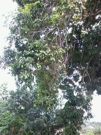 Sitio Tijupa: A mangueira mais produtiva que já vi.