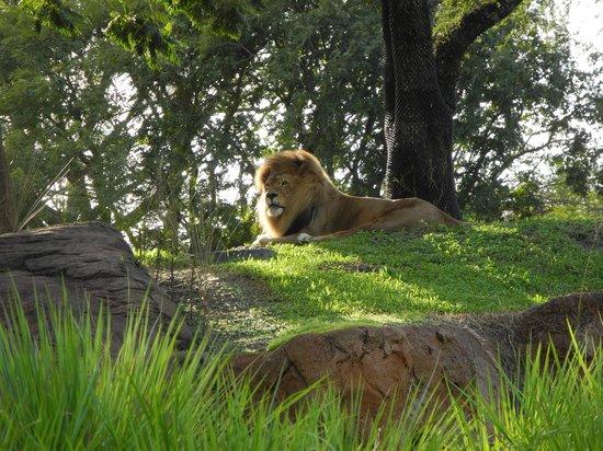 Disney's Animal Kingdom Lodge: Safari lion