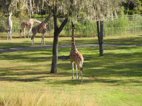 Disney's Animal Kingdom Lodge: $ giraffes out our window