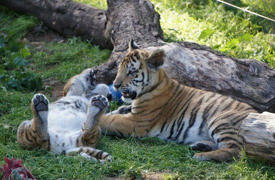 Seaview Lion Park: Seaview Lion and Tiger Park - filhotes